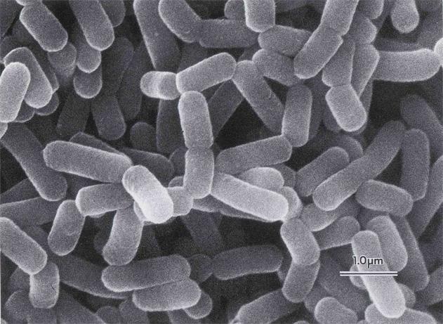 Lactobacillus foto