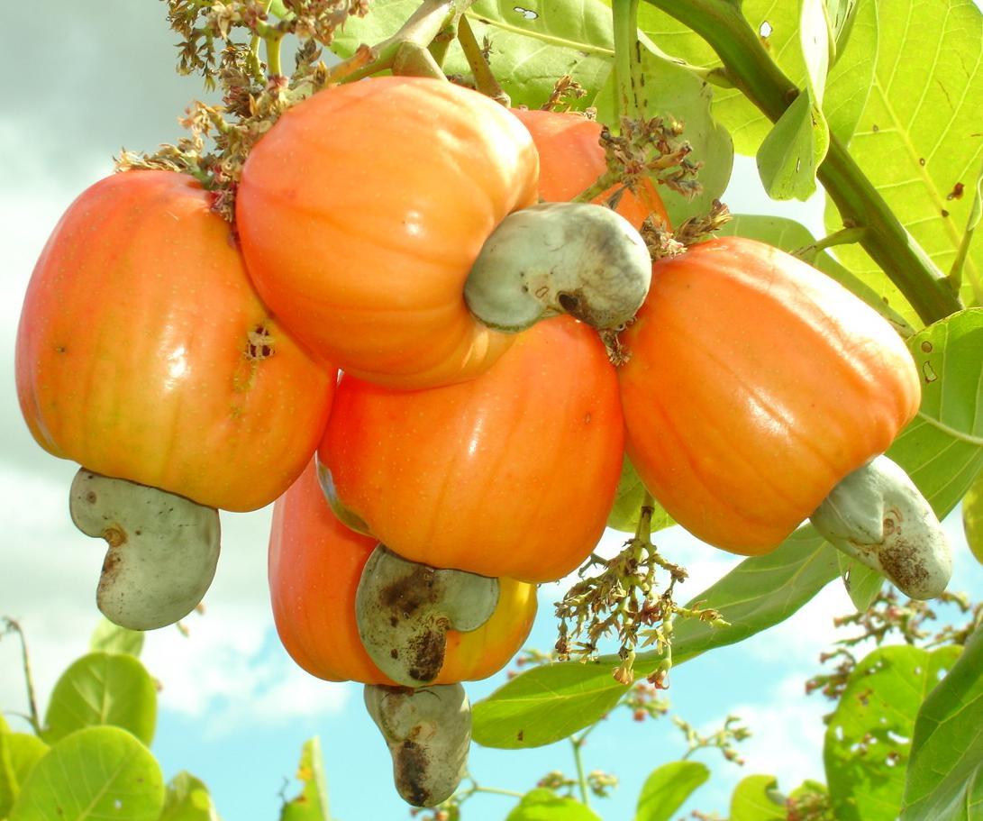 nutricao-joyce-caju-castanha01